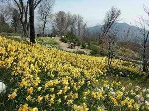 Bauer Daffodil Gardens