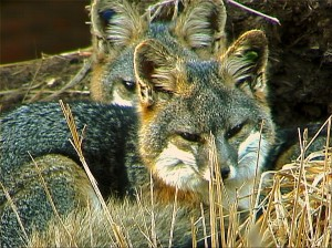 Catalina Island Fox pair in breeding pen