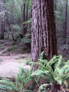 No Fairy in Redwoods (No Flash)