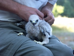 Pete Bloom banding a hawk chick