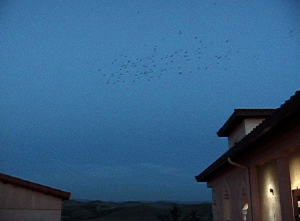 Swallows swarm above nests at dusk