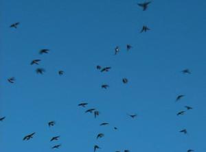 Swarming swallows