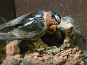 The Cliff Swallows of Capistrano