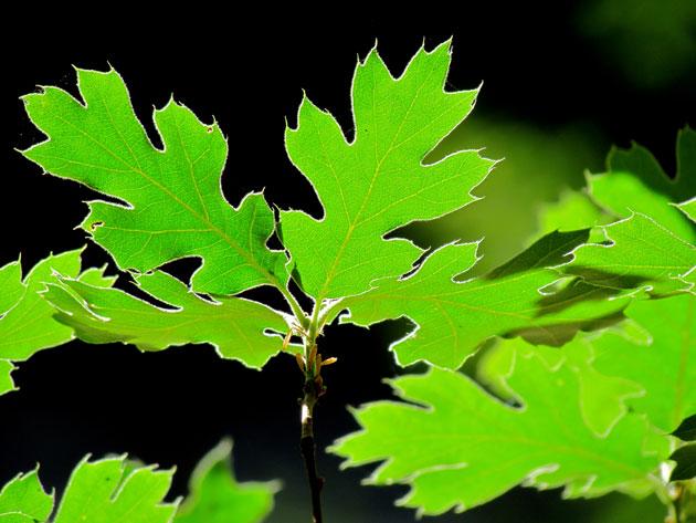 Summer Oak Leaves